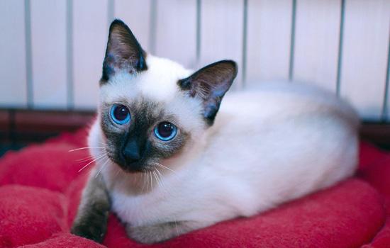 暹罗猫为什么这么便宜 暹罗猫为什么不贵