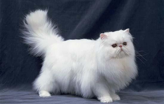 折耳猫为什么猫喜欢弓起走 软骨病发病