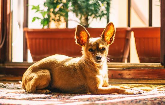 短毛阿拉斯加雪橇犬_狗狗中暑表现 狗狗中暑的症状有哪些_小可爱宠物网