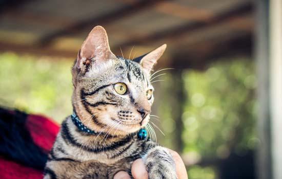 英短蓝猫为什么脱毛 与营养以及天气有关