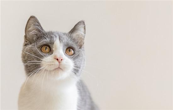 狸花猫为什么头小 教你如何让猫咪的身材变好