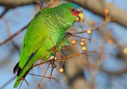橙翅亚马逊鹦鹉说话能力咋样 橙翅亚马逊鹦鹉说话能力如何