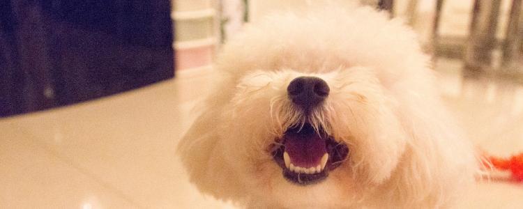 贵宾犬十岁还能活多久 贵宾犬最多活多少岁