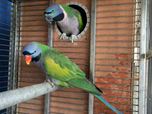大绯胸鹦鹉会说话吗 大绯胸鹦鹉说话能力怎样