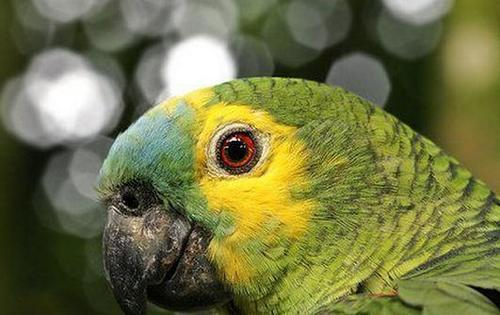 帝王亚马逊鹦鹉的寿命 品种决定寿命