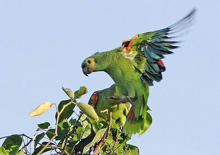 亚马逊鹦鹉吃什么食物对羽毛好 亚马逊鹦鹉吃什么利于换毛