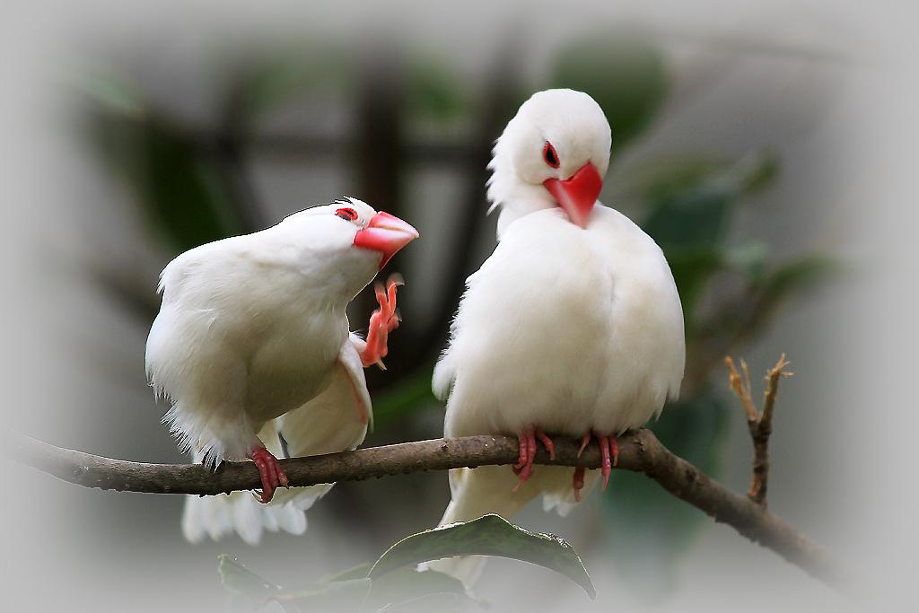 白文鸟吃什么容易生蛋 白文鸟吃什么食物比较好