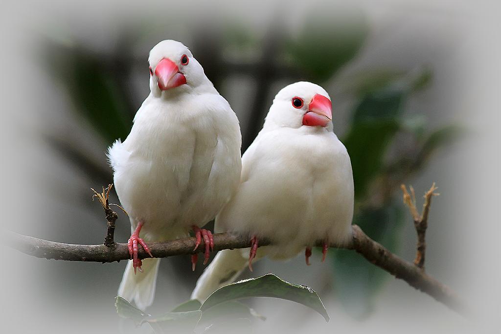 白文鸟繁殖注意事项 白文鸟繁殖期怎么饲养