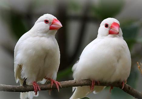白文鸟幼鸟如何分公母 白文鸟幼鸟几个月开始叫