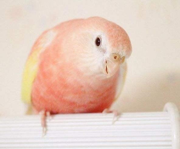 伯克氏粉色鹦鹉价格 伯克氏粉色鹦鹉怎么喂养