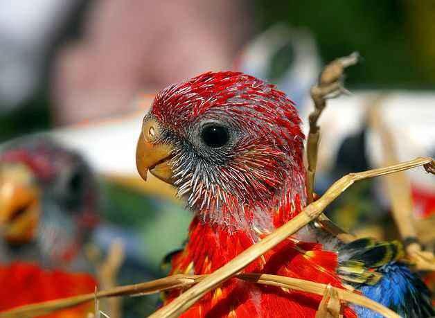 东玫瑰鹦鹉怎么分公母 东玫瑰鹦鹉怎么辨别公母