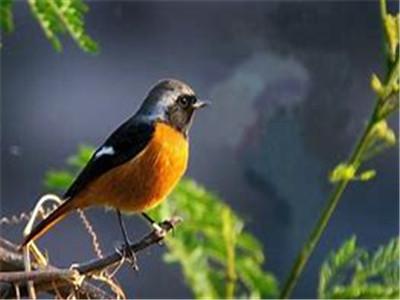 北尾红鸲多少钱一只 北红尾鸲鸟价格