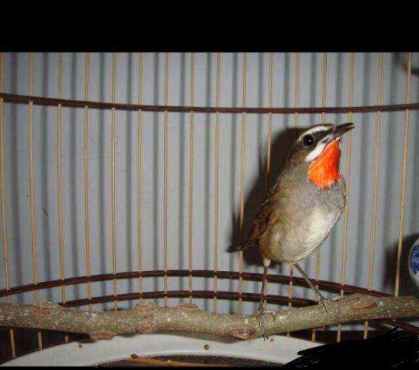 红靛颏鸟换毛饲养管理 红靛颏鸟什么时候换毛