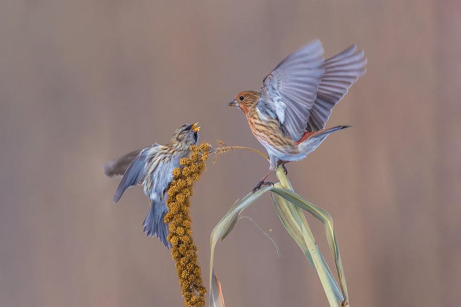 白腰朱顶雀是保护动物吗