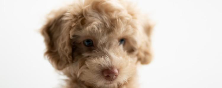 狗狗怎么预防细小病 小狗狗怎么预防细小