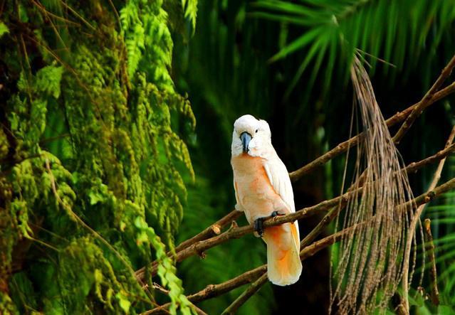 鲑色凤头鹦鹉寿命 鲑色凤头鹦鹉能活多久
