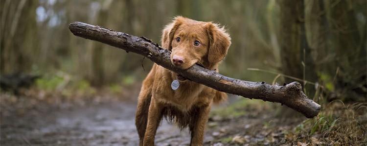 中华田园犬犬智商排第几名 中华田园犬智商有多高