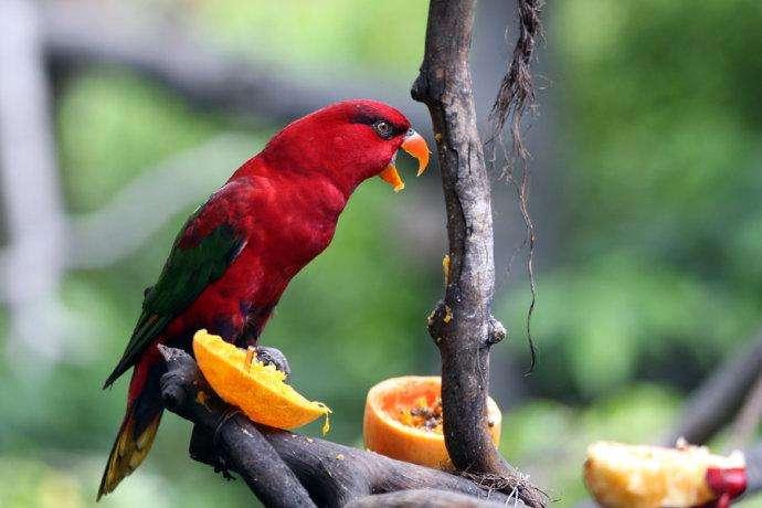 红色吸蜜鹦鹉说话能力怎么样 红色吸蜜鹦鹉会说话吗