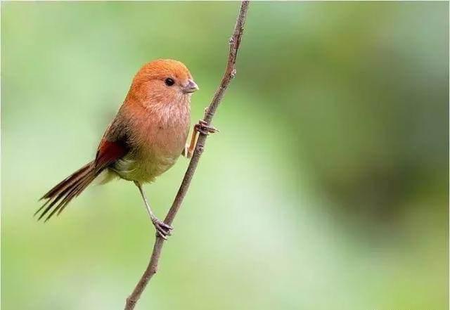 黄藤鸟公母鸟区别 黄腾鸟公母区别