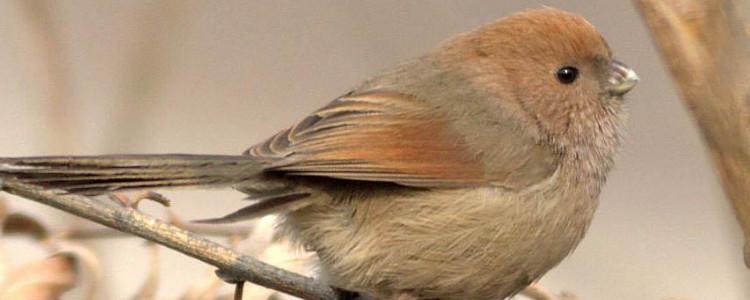 黄藤鸟寿命 黄藤鸟能活多久