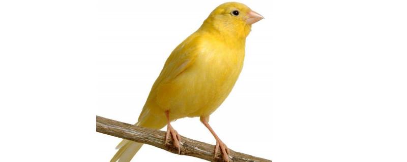 黄玉鸟吃什么 黄玉鸟怎么养