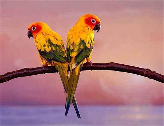 太阳锥尾鹦鹉繁殖要点是什么