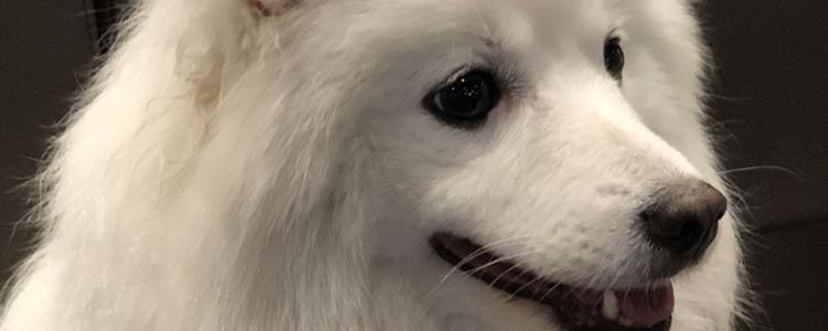 银狐犬怕冷吗 银狐犬怕不怕冷