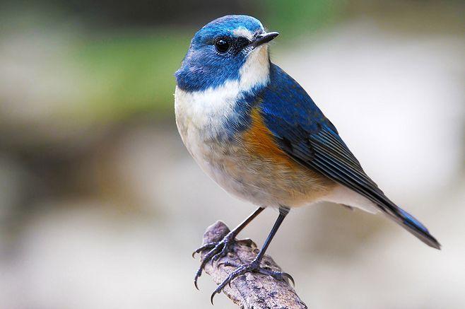 蓝尾巴根子鸟多少钱 蓝歌鸲多少钱
