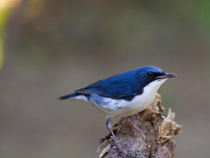 蓝尾巴根子鸟怎么养 蓝歌鸲饲养方法