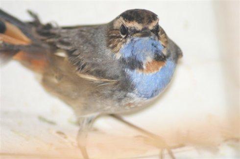 春天的蓝靛颏怎么养 蓝靛颏饲养方法