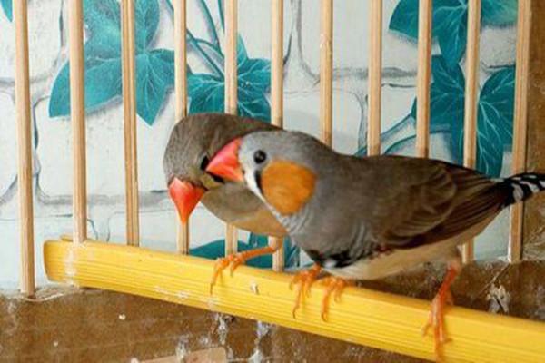 金山珍珠鸟雌雄分辨 金山珍珠鸟怎么区分公母