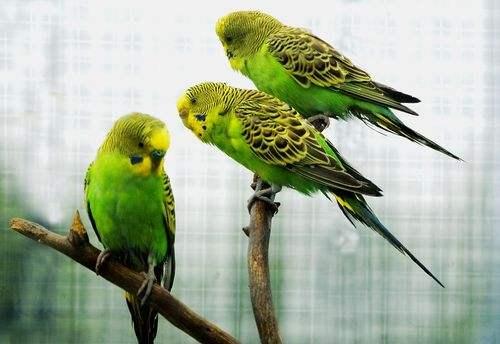 娇凤鸟怎么分公母 娇凤鸟怎么辨别公母