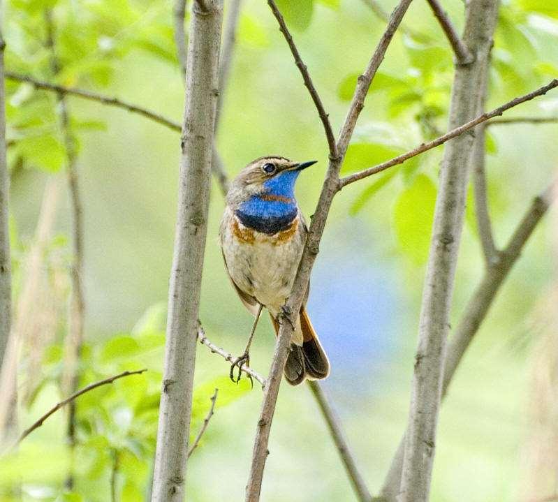 蓝靛杠鸟好养吗 蓝点颏好养吗