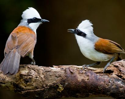 白冠噪鹛怎么区分公母 白冠噪鹛怎么辨别公母