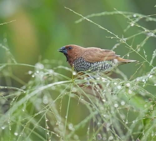 野生斑文鸟怎么分公母 斑文鸟雄雌
