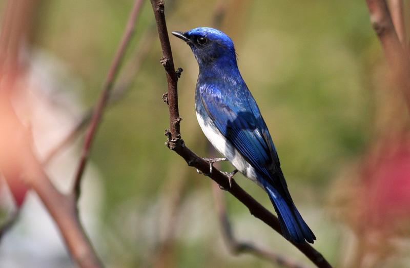 白腹蓝翁鸟繁殖在什么地方 白腹蓝鹟繁殖在什么地方