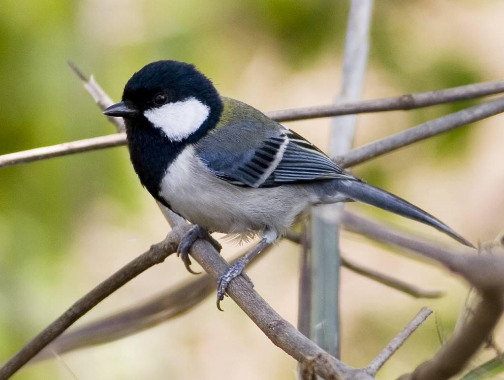 大山雀怎么分公母 大山雀雌雄鉴别