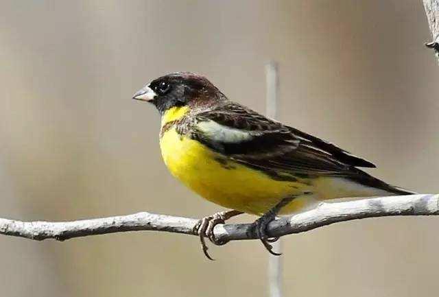 禾花雀与麻雀的区别 禾花雀与麻雀有什么区别