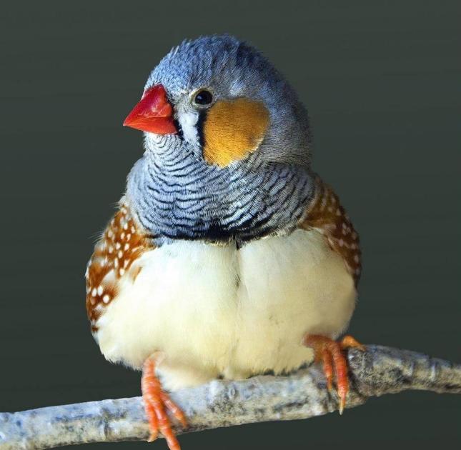金山珍珠鸟吃什么 金山珍珠鸟的饲养
