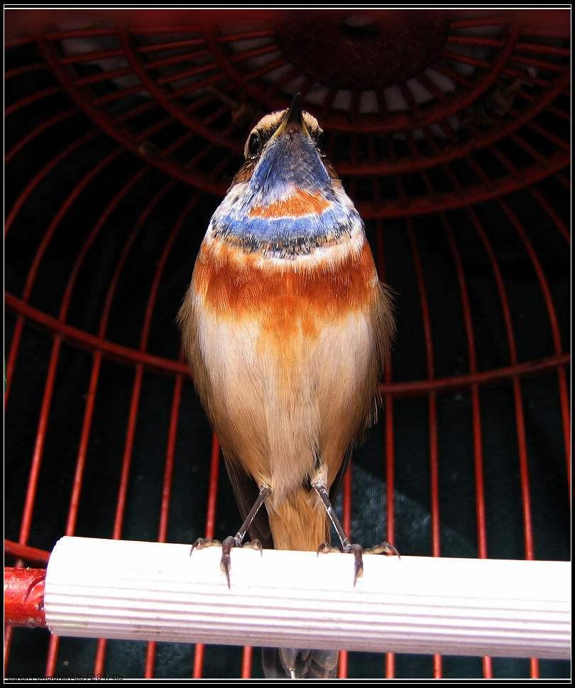 蓝靛颏鸟几月迁移 蓝靛颏鸟几月开始迁移