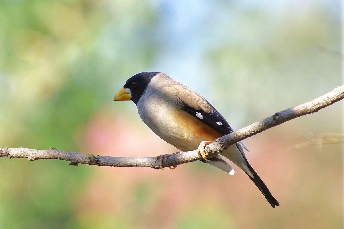 黑尾蜡嘴雀的寿命 黑尾蜡嘴雀寿命是多少