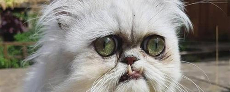 奶奶猫是什么品种 惊魂奶奶猫是什么猫