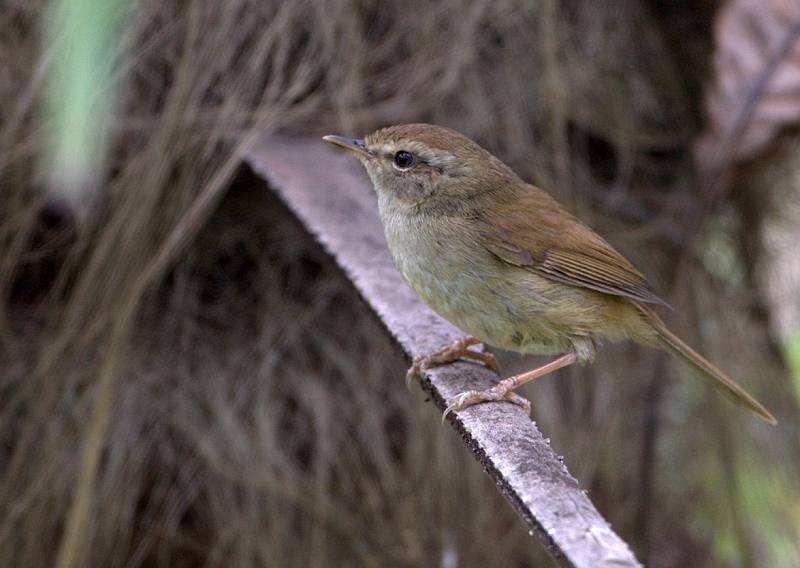 强脚树莺与褐柳莺的区别 强脚树莺褐柳莺区别