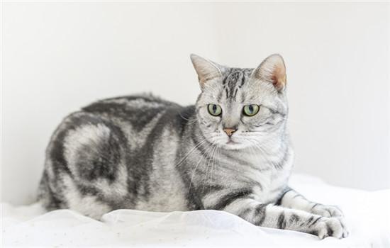 养美短猫有什么不好