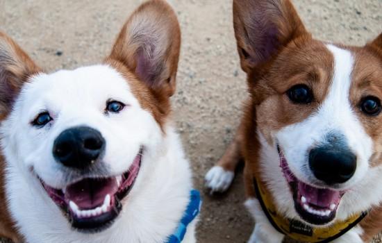 怎么让狗接受新来的狗 如何让家里狗接受新狗