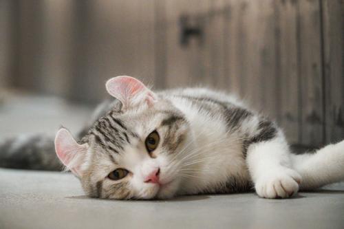 猫咪白细胞低怎么回事 猫咪白细胞低的原因