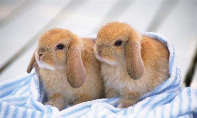 宠物兔品种 宠物兔有哪些品种