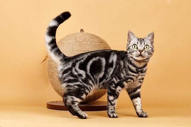 美短起司怎么看纯不纯 美国短毛猫怎么看纯不纯