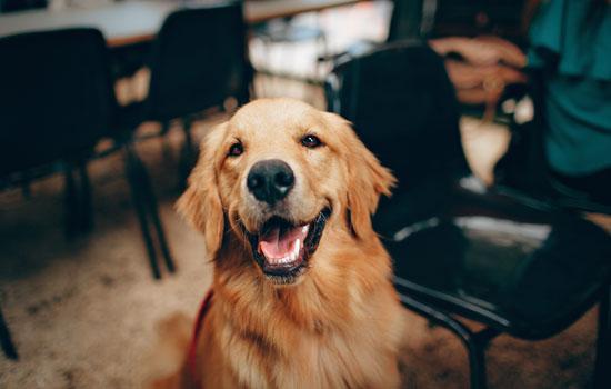 金毛开始懂事的表现 金毛犬听话的表现