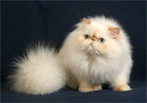 喜马拉雅猫为什么不能养 饲养喜马拉雅猫一定要注意这些